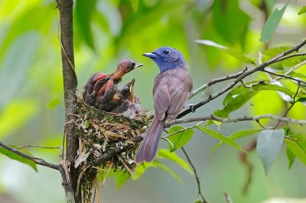 Schwarz-naped monarch hypothymis azurea schöne weibliche vögel im nest mit baby