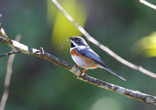 Schwarz-throated bushtit aegithalos concinnus schöne vögel von thailand