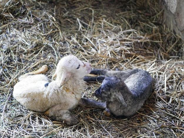 Schwarz-weiß-neugeborenenlamm Premium Fotos