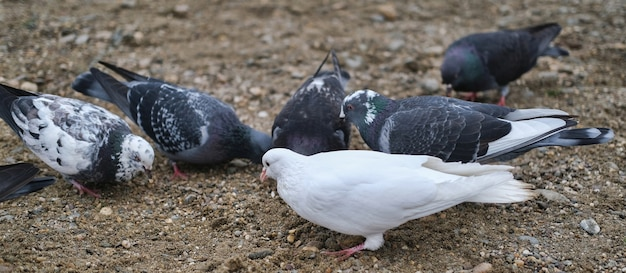 Schwarz-weiß-tauben auf nassem felsigem boden fressen nahrung