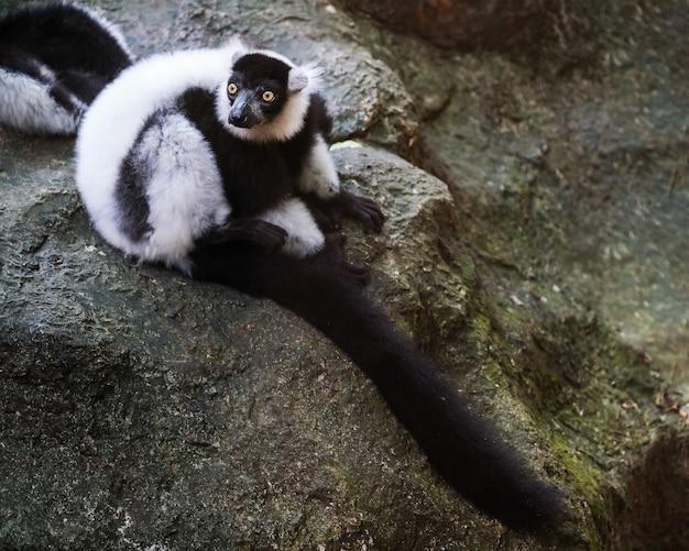 Schwarz-weiß-trottel lemur klammerte sich an ast, lemurs island