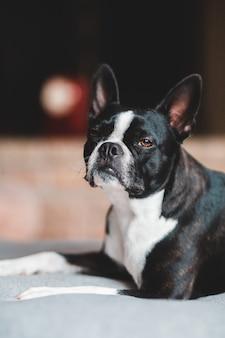 Schwarz-weißer kurz beschichteter hund