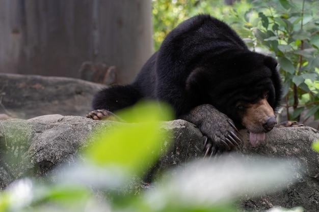 Schwarzbär, der auf dem felsen stillsteht