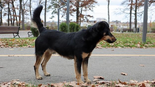 Schwarzbraune und schmutzige hunderasse, mischling, schaut direkt vor die kamera. gehen sie mit dem hund spazieren. hintergrund des gelben und grünen grases. spiele für draussen. das konzept der streunenden hunde.
