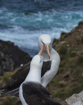 Schwarzbrauner albatros saunders island