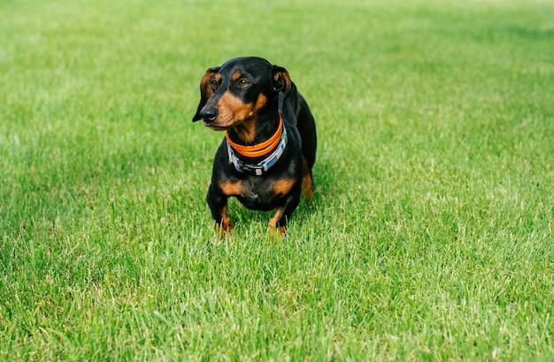 Schwarzbrauner dackelhund im kragen, der auf grünem gras steht standing
