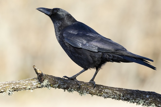 Schwarze aaskrähe, die auf einem ast sitzt