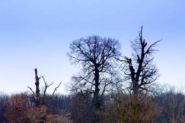 Schwarze bäume auf hintergrund des blauen himmels. winterlandschaft, abend_