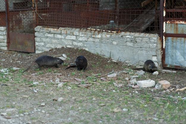 Schwarze bisamratte auf der farm, die auf der straße nach nahrung sucht.