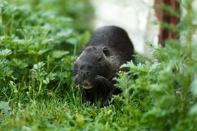 Schwarze bisamratte im grünen gras geht ihrem geschäft nach.