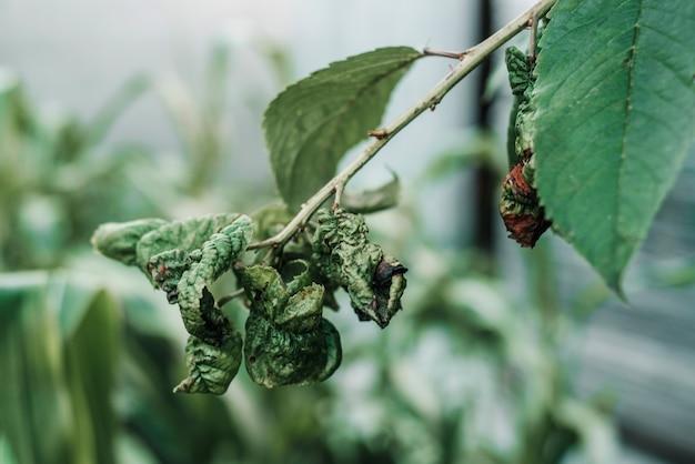Schwarze blattläuse auf verzerrtem kirschlaub, kirschbaumblätter von kriebelmücken befallen