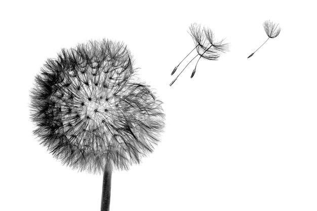 Schwarze blütenkopf löwenzahnblume mit fliegensamen im wind lokalisiert
