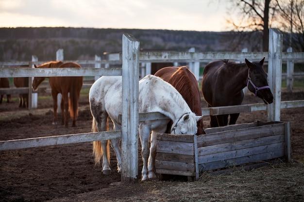 Schwarze, braune und weiße pferde. heu aus der kiste essen. sonnenuntergang im dorf.