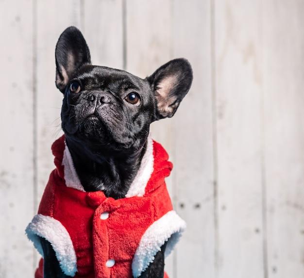 Schwarze bulldogge mit ohren, weihnachtsmannkleid auf weißem holz