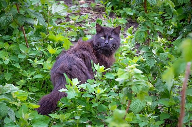 Schwarze flauschige katze im garten unter himbeersträuchern