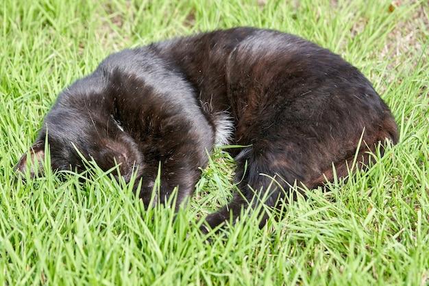 Schwarze flauschige katze schläft an einem sommertag auf grünem gras. porträt einer schwarzen katze, die im gras schläft