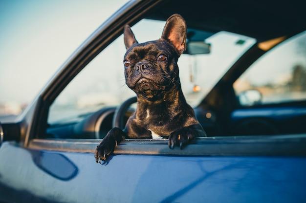 Schwarze französische bulldogge auf einem autofenster
