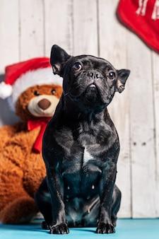 Schwarze französische bulldogge mit weihnachtshintergrund