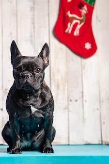 Schwarze französische bulldogge mit wütender pose