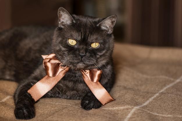 Schwarze getigerte schottische gerade katze mit gelben augen, die braune schleife am hals tragen, liegt auf dem bett