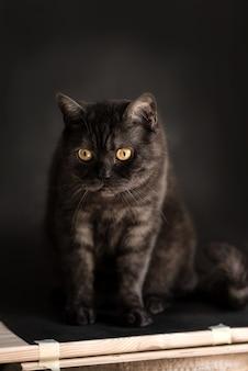 Schwarze getigerte schottische gerade katze mit gelben augen sitzt