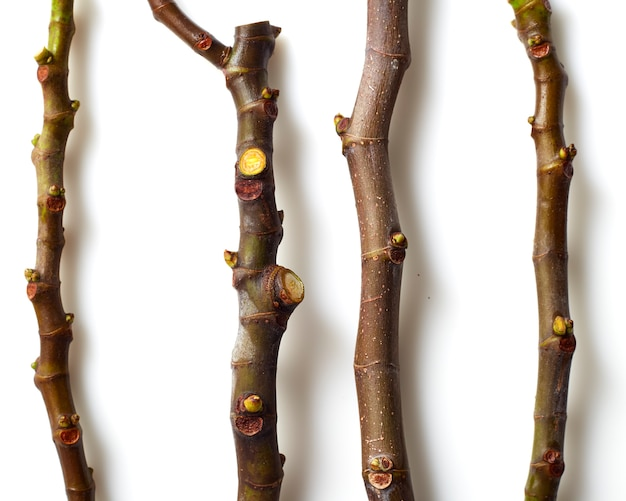 Schwarze griechische feigenbaumschnitte