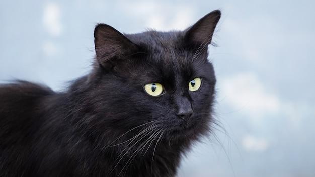 Schwarze katze auf hellblauem hintergrund, nahaufnahmeportrait einer katze