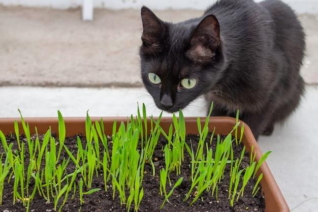 Schwarze katze frisst frische grüne topfgraspflanze