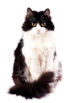 Schwarze katze getrennt auf weiß