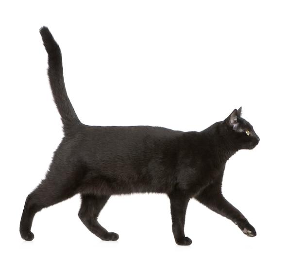 Schwarze katze isoliert