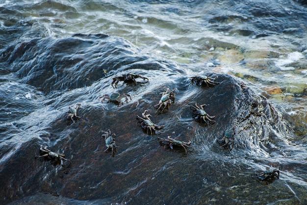 Schwarze krabben auf dem felsen durch seeufer.
