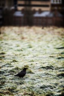 Schwarze krähe auf einer gefrorenen graswiese in london