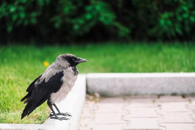 Schwarze krähe geht auf grenze nahe grauem bürgersteig auf reichem grün mit copyspace. rabe auf pflasterung nahe grünem gras und büschen. wilder vogel auf asphaltabschluß oben. raubtier der stadt.