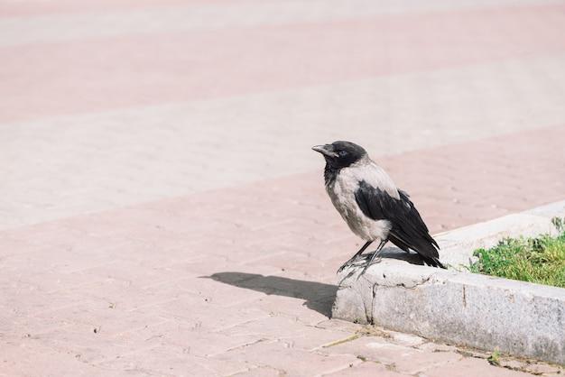Schwarze krähe geht auf grenze nahe grauem bürgersteig