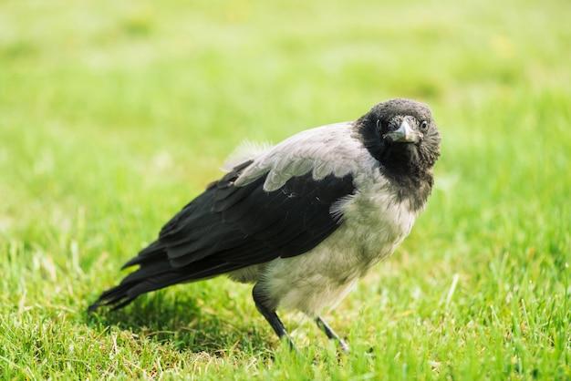 Schwarze krähe geht auf grünen rasen mit kopienraum.