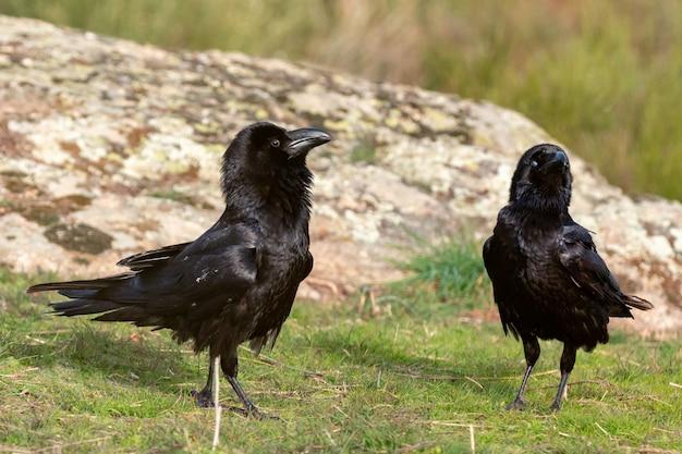 Schwarze krähen