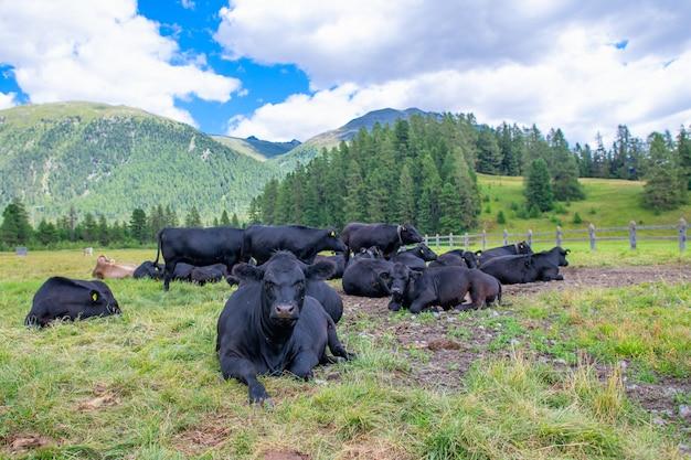 Schwarze kühe ruhen auf den weiden der schweizer alpen