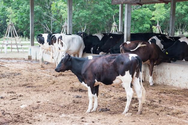 Schwarze milchkühe in bauernhof kuh-thailand