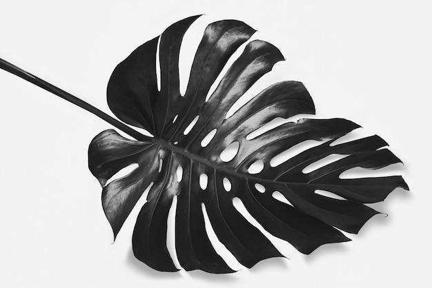 Schwarze monstera-blätter werden auf einem weißen hintergrund mit schwarzen schatten schwarz-weiß-bildern platziert