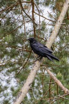 Schwarze rabenkrähe (corvus corone) thront auf kiefer. im hintergrund flauschige kiefernzweige.