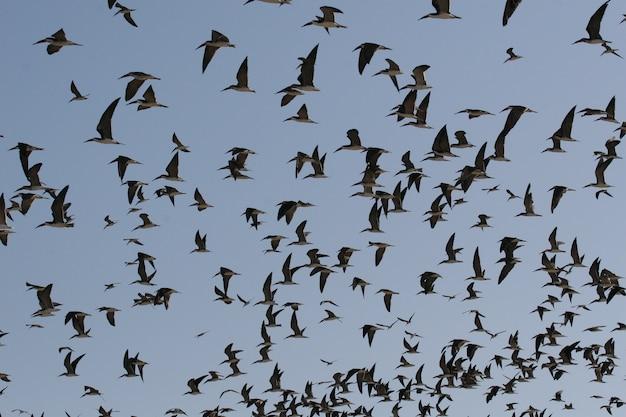 Schwarze skimmer, die in den himmel fliegen