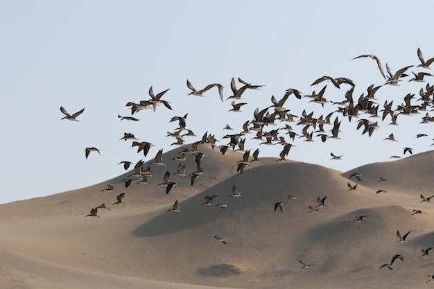 Schwarze skimmer fliegen