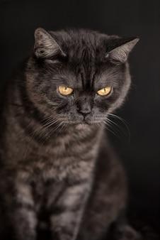 Schwarze tabby schottische gerade katze mit gelben augen
