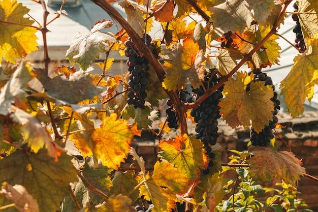Schwarze trauben wachsen natürlich im haus in warmem, ruhigem morgenlicht.