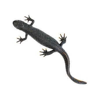 Schwarze triton-eidechse lokalisiert auf weißem hintergrund. der blick von oben. foto eines reptils.