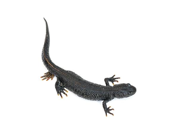 Schwarze triton-eidechse mit verstecktem bein lokalisiert auf weißer oberfläche. der blick von oben. foto eines reptils.
