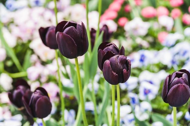 Schwarze tulpen auf den blühenden blumenbeeten
