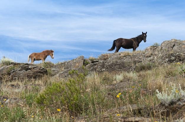 Schwarze und beige pferde stehen auf den felsen im großen grasland