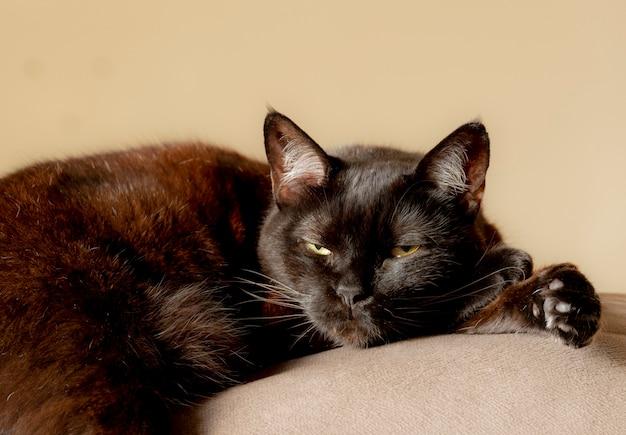 Schwarze und braune katze, die über dem sofa liegt.