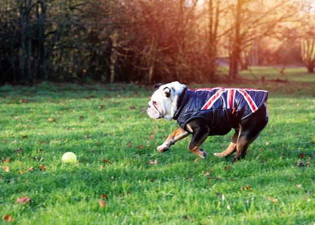 Schwarze und weiße englische bulldogge, die eine weste für einen spaziergang trägt, der auf dem gras läuft